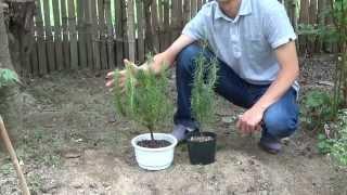 ローズマリーのスタンダード仕立ての育て方を紹介します。 鉢植えで育て...