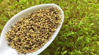 How to Grow Clover Sprouts - Cheap and Easy Method