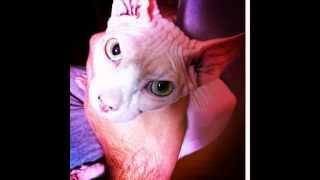 Наш кот- сфинкс Есенин