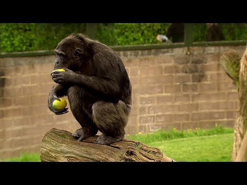 Trading with a Chimp - Extraordinary Animals - Series 2 - Earth