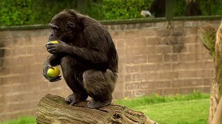Chimp Learns to Trade | Extraordinary Animals | BBC Earth