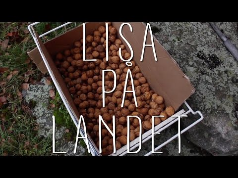 Kan man odla valnötter i Sverige?