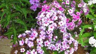 Сорта мелкоцветковых флоксов