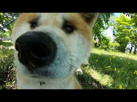 Two Star Akita Dogs Enjoy Their Daily Visit to the Park | Nippon.com: Japan in Video