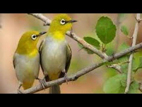 Cara Mudah Membedakan Burung Pleci Jantan Dan Betina Bisa Di Lihat Dari Ciri Dan Tingkah Laku Youtube