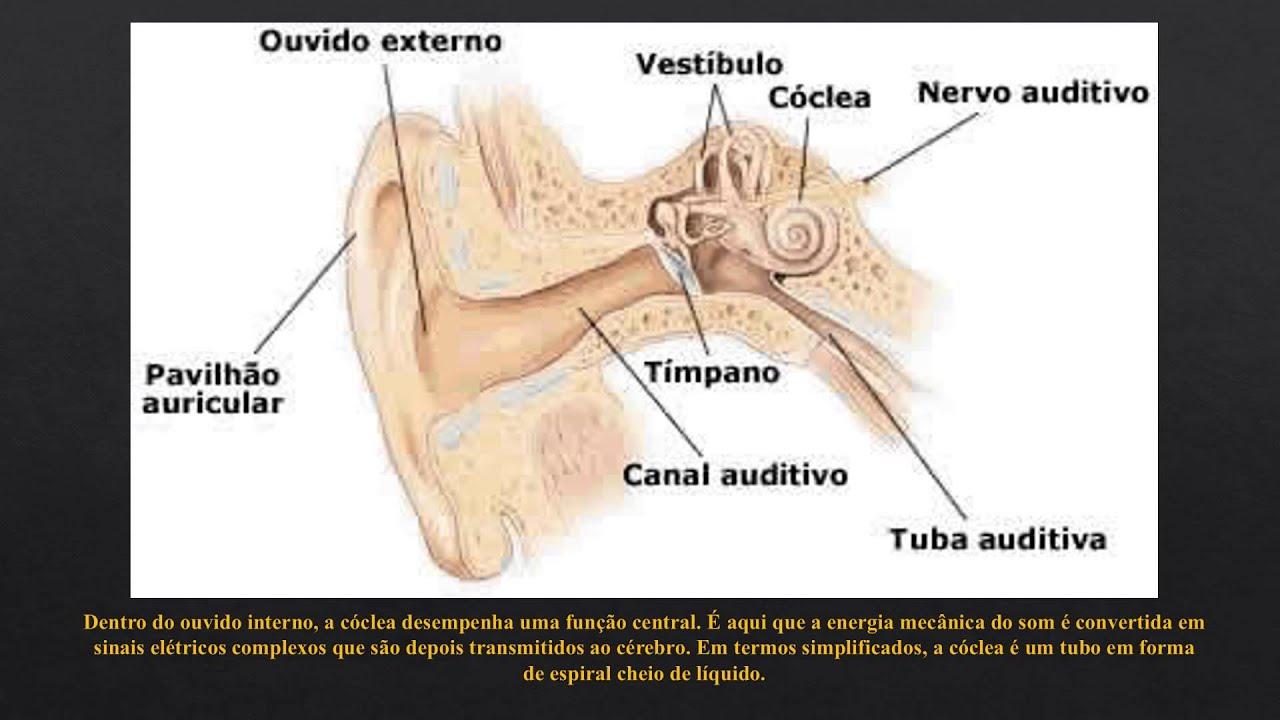 Bonito Anatomía Tubo Auditivo Fotos - Imágenes de Anatomía Humana ...
