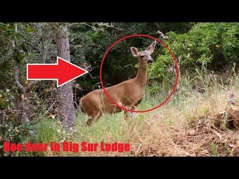 Roe deer in Big Sur Lodge, CA, USA (2015.05)