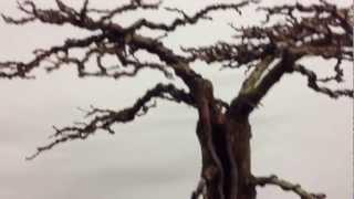 Flat-top Bald Cypress - Year 4