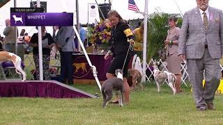 Whippets | Breed Judging 2021