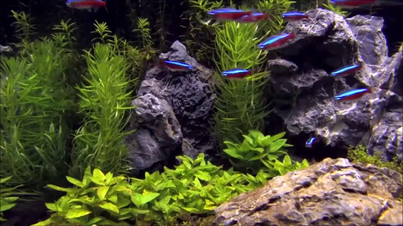 Aquascape Neon Tetra