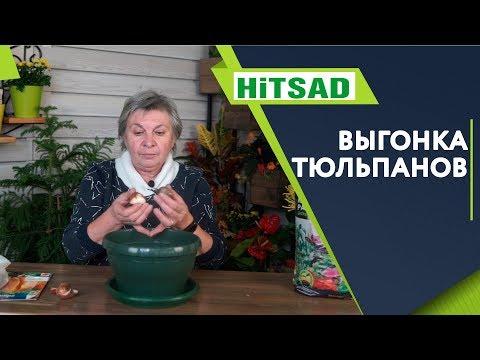 Правильная Выгонка Тюльпанов В Домашних Условиях ✔️ Советы От Хитсад ТВ