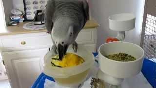 Zazu Destroying/eating A Sweet Potato (delicata) Squash