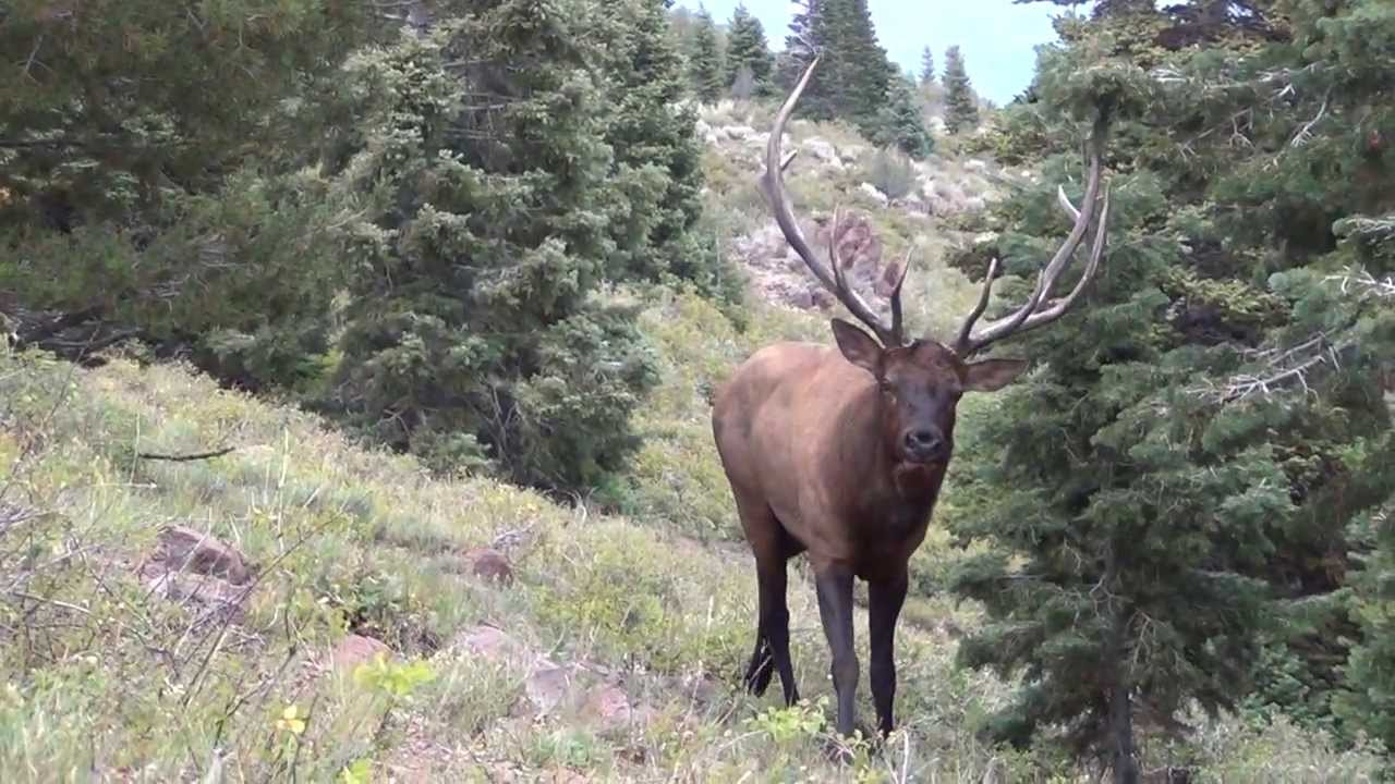 Close up bull elk encounter 2013 youtube youtube premium publicscrutiny Image collections
