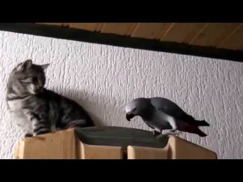 funny bird best – parrot vs cat – funny parrots ★ best funny parrot videos [trip burger pets]