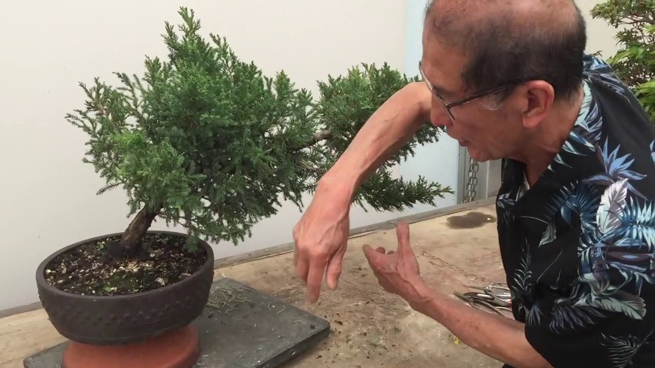 Making A San Jose Juniper Bonsai Youtube