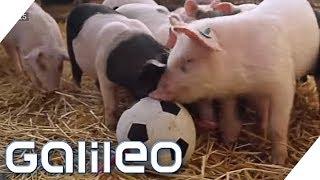 Hier leben die glücklichsten Schweine Deutschlands   Galileo   ProSieben