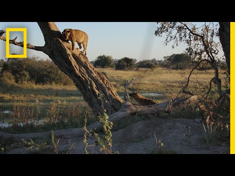 Hyenas Fight Lions For Control | Savage Kingdom
