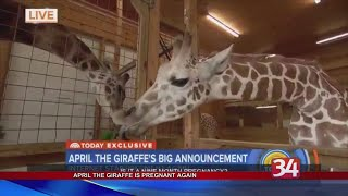April the Giraffe is pregnant again; PETA issues statement about the pregnancy