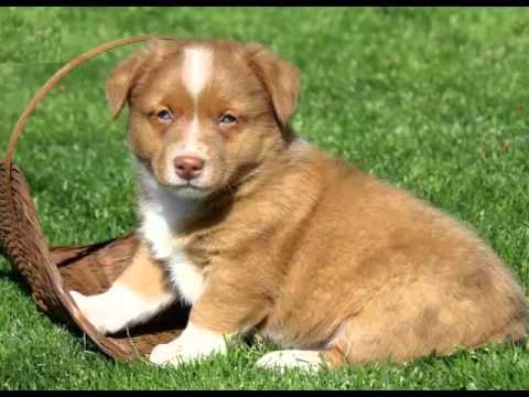 aussie mix puppies australian shepherd mix puppies collection of pictures and 8317
