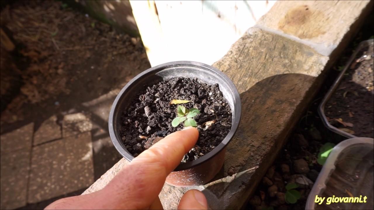 Come piantare un ciliegio dal nocciolo del frutto   Fai da ...