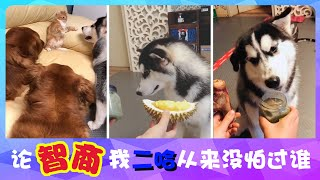 宠物联萌 | 可爱狗狗🔴我是二哈我骄傲,论智商咱从来没怕过谁~😊Funny and Cute Baby Dog Videos Compilation(2018-4)