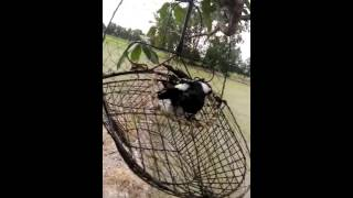 Bat chim chia voi rung