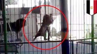 Download Video Pejinak singa tewas diserang oleh singa sirkus - Tomonews MP3 3GP MP4