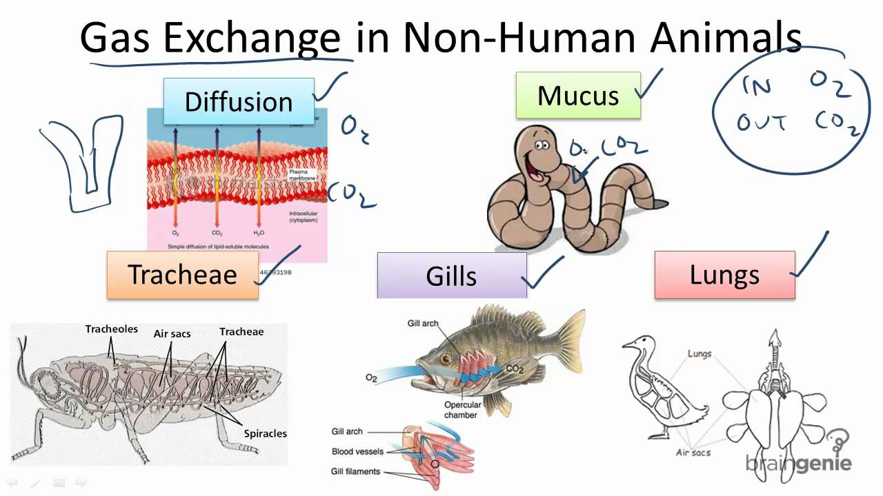 hight resolution of 7 1 6 gas exchange in non human animals