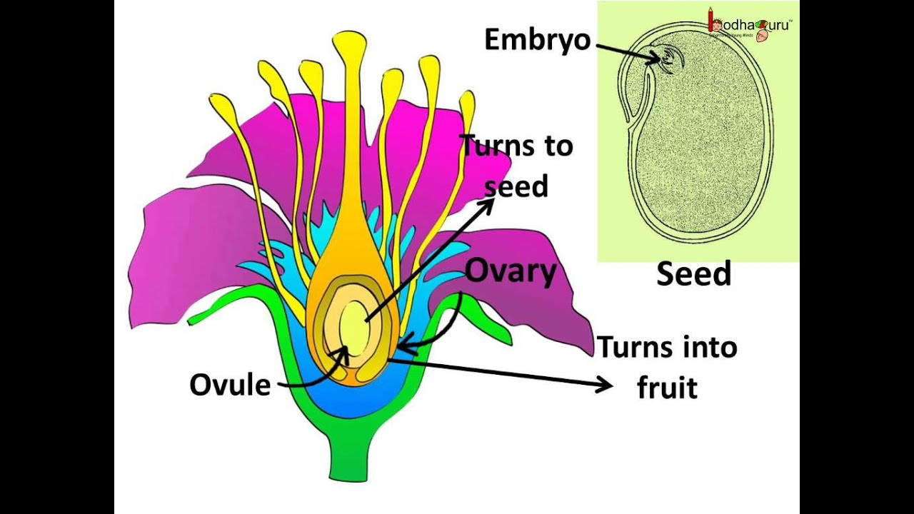 science sexual reproduction in plants pollination fertilization hindi [ 1024 x 768 Pixel ]
