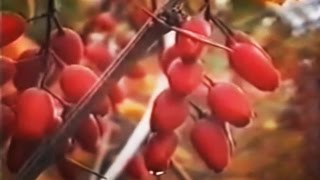 видео Барбарис: лечебные свойства и противопоказания