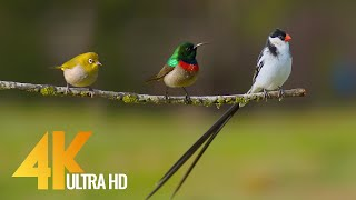 4K 10 bit color Amazing African Birds. Part 3 - African Wildlife Video - 3 HRS Beautiful Bird Sounds