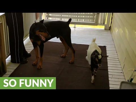 Baby goat plays with Doberman, tries to headbutt him