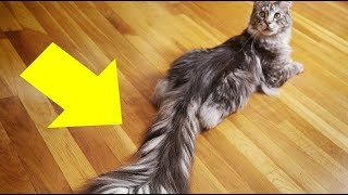Meet Cygnus, the Cat with the World's Longest, Most Luscious Tail