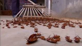 A Million Cockroaches #  Escape From Farm # China