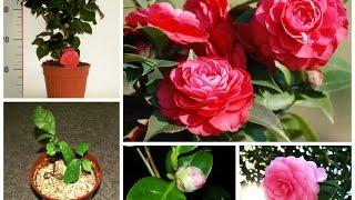 Камелия. Советы по уходу в домашних условиях(Камелия. Советы по уходу в домашних условиях https://youtu.be/UYdiqK9ADQ8 Камелия (Camellia) принадлежит к семейству Чайные..., 2015-06-24T13:04:02.000Z)