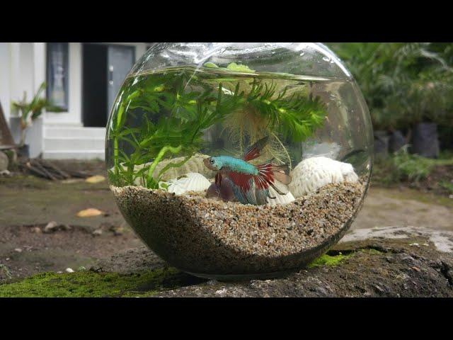 Cara sederhana menghias aquarium ikan cupang????