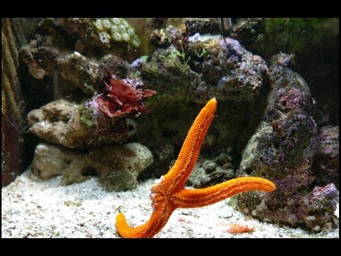Linckia Starfish   Lost Two Limbs   Linckia Starfish Feeding