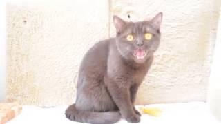 Британская шоколадная кошка Жозефина British House