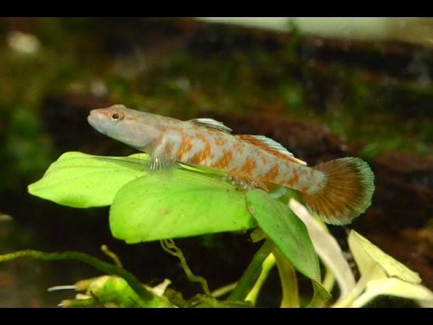 Scarlet Goby- Rhinogobious Zhoui-Species Spotlight