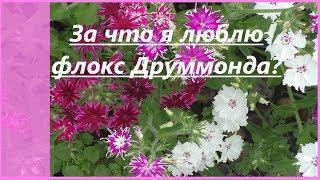 Однолетние флоксы Друммонда   в моем саду. Неприхотливые цветы: выращивание, виды, сорта.