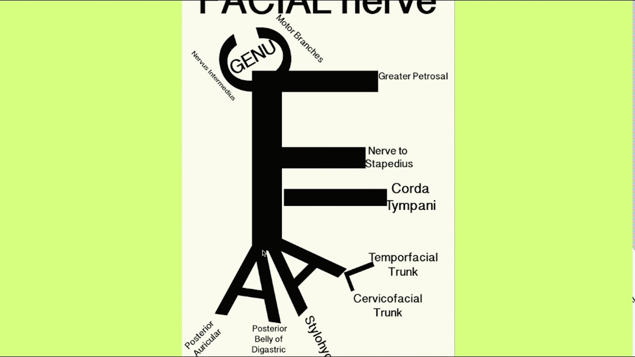 Facial Nerve Mnemonic Youtube