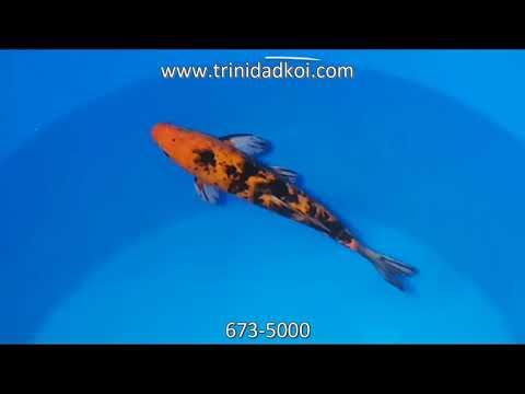 Trinidad Koi- Living Jewels Farm- 110036