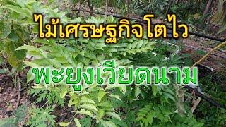 อัพเดตต้นพะยูงเวียดนาม โตไวแค่ไหนมาดูกัน#พะยูงเวียดนาม#Huanghuali