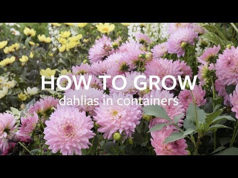 How To Grow Dahlias In Containers Youtube