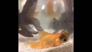 Teleskop Balığımın Hastalığı?