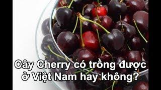 Cây Cherry có trồng được ở Việt Nam hay không?
