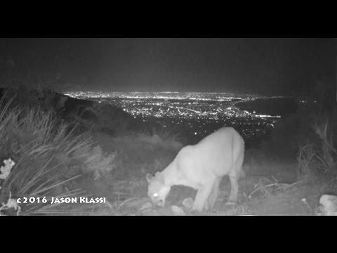 Mountain Lion above Santa Monica Bay - c Jason Klassi