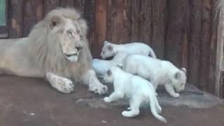 Vier weiße Löwenbabys mit ihren Eltern im Zoo Magdeburg 25 02