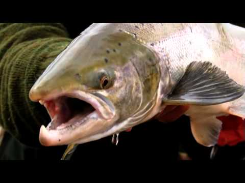 Fly Fishing the Midfjardará River in Iceland for Atlantic Salmon - Fly Nation TV Preview