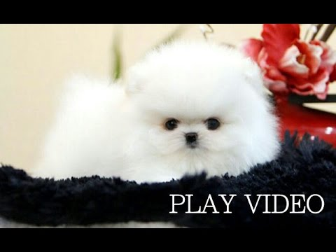 teacup white pomeranian puppy for sale so cute teacup white pomeranian for sale teacup puppy for 285